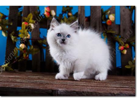 kittenblueeyes1.jpg